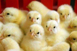 цыплят-бройлеров проверят на содержание антибиотиков
