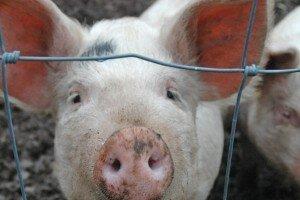 В РТ выявлен случай африканской чумы у свиньи